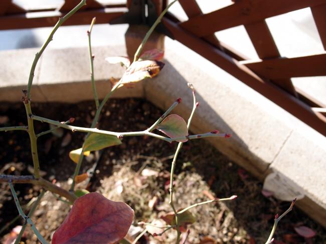 ブルーベリーの花芽と葉芽