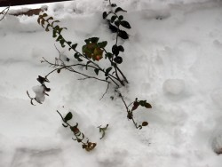 雪の重みで折れたブルーベリーの枝