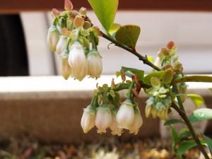 ティフブルーが開花