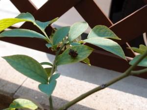 ブルーベリーの葉につく蓑虫(みのむし)