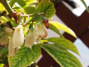 ブルーベリーの花を食べる幼虫