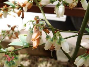 ブルーベリーの花びらが枯れ始める
