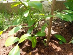 ティフブルーの5月の成長