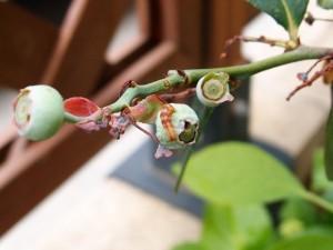 ブルーベリーの実を食べる害虫