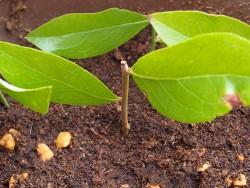 ブルーベリーの挿し木の様子