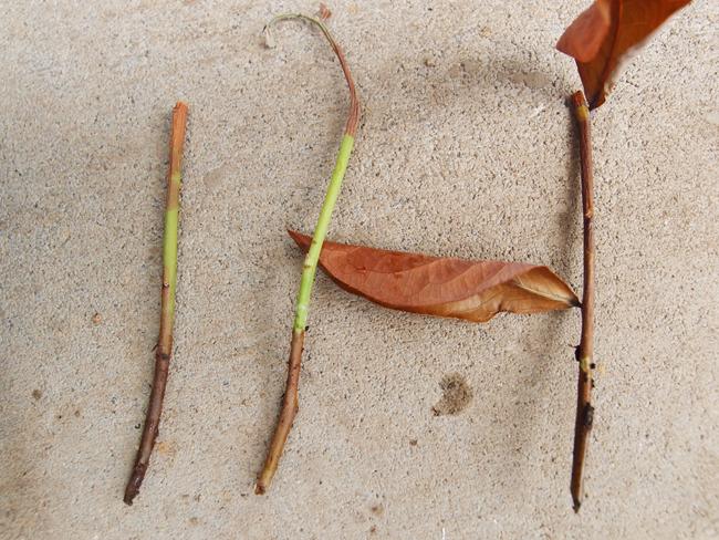 枯れた挿し木