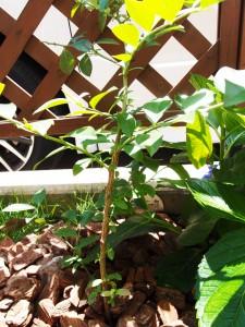 ティフブルーの6月の成長