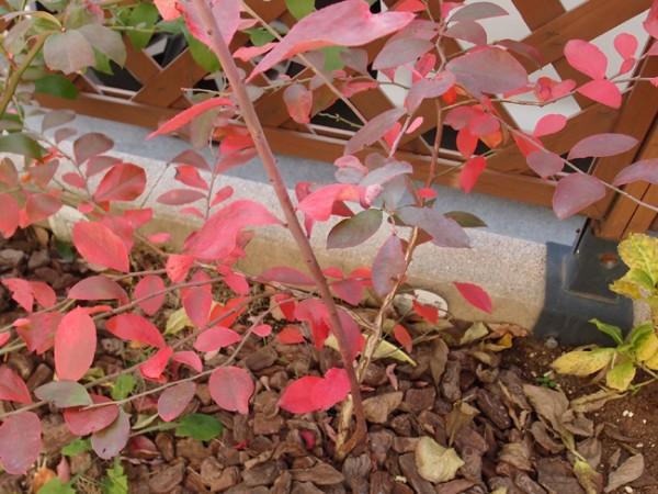 紅葉するティフブルー