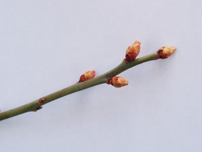 3月初旬ノビリスブルー