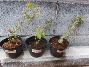 液体肥料実験5日目