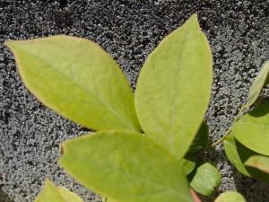水だけを与えたブルーベリーの葉