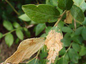 イラガの幼虫によるブルーベリーの被害