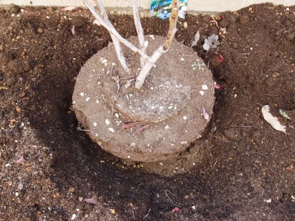 ブルーベリーを鉢植えから地植えに植え替え