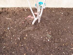 ブルーベリーを地植えにする