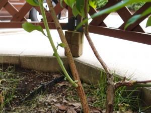 根元から伸びるシュート