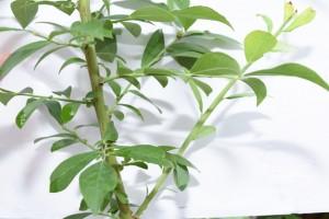 途中から伸びる長果枝