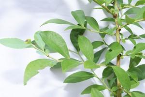細い短果枝