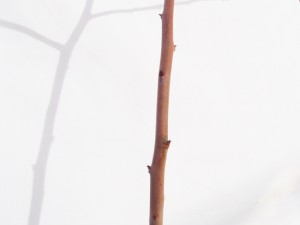 花芽の無い長果枝(シュート)
