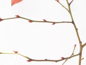 花芽の付く短果枝
