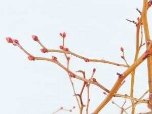 細い枝に付く花芽