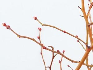 花芽を取り除いた短果枝