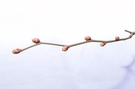 ティフブルーの花芽