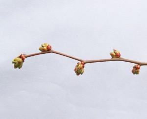ティフブルーの花びらが伸びる