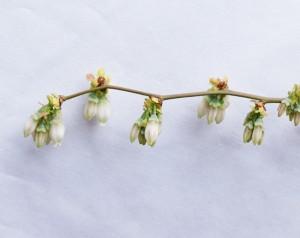 ティフブルーの開花