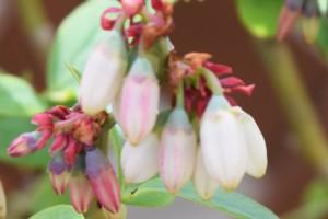 パウダーブルーの花