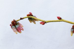 赤く戻るパウダーブルーの花