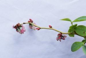 乾燥したパウダーブルーの花