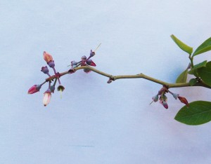 上を向くパウダーブルーの花