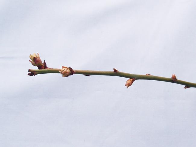 3月18日の花芽