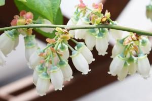 ノビリスブルーの花