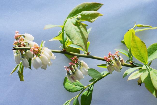ノビリスブルーの花が開花