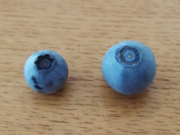 完熟した実と未熟なブルーベリー