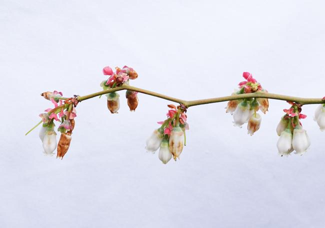ティフブルーの花が枯れ始める