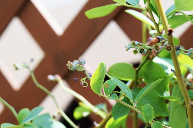 パウダーブルーの幼果