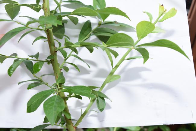 主枝から伸び太い枝