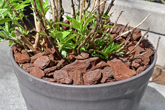 鉢植えにバークチップを敷く