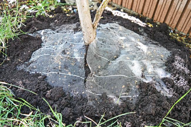 ブルーベリーの根元を防虫ネットで覆う